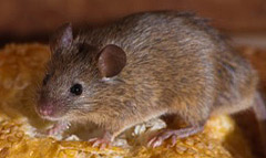 mice and dormouse